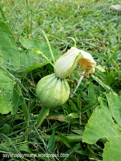 Female flower - that's the ovary at the bottom.  It's gonna become a pumpkin!