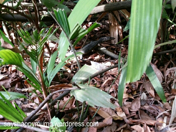 Sankar pointed out a baby monitor lizard at the entrance of mangrove boardwalk.